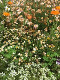 マーガレットやキンセンカ、ノースポールなどを花壇に植えているのですが、1つの種類が枯れてきたかなと思ったら、他の種類までもが枯れ始めてきました。思い起こせば、これはよくあるように思います。どうして、あ る花が枯れ始めると他の花まで枯れ始めるのか教えてください