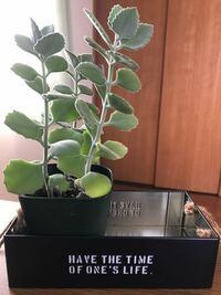 初めて観葉植物を買いました。 カランコエという種?のミロッティーという植物なのですが、お世話の仕方として「春は週一回程度、しっかり与える」「夏は1ヶ月に1回くらいで大丈夫」「冬は月2回くらい」という説明を見ました。(お店で)  今は夏という認識でいいんでしょうか? どこで春夏秋冬を判断すればいいのか分からなくて… あげるべき時にあげなかったり、あげなくていい時にあげてしまったら枯れてしまうん...