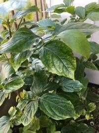 切り株から枝が伸び、 勢いよく葉も大きくなり どんどん茂ってきました。  なんていう植物でしょうか?