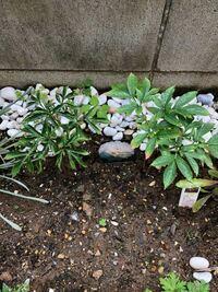 芍薬について 今冬に芍薬の苗を購入し植えました。 背丈20cm位までは順調に育ったのですが、それから1.5ヶ月経っても変化はありません。 最近では、葉先が茶色くなってきました。 これは枯れてきたのでしょうか。...