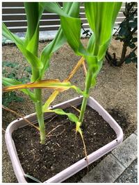 とうもろこしの葉が黄色に変色し始めました。 水不足?水やりすぎ?肥料が足りない?肥料やけ?調べてみましたが素人にはわかりませんでした。 経験のあるかた教えて下さい。  変色の2週間 ほど前に追肥してましたが、調べるととうもろこしは肥料がたくさん必要とあったので足りなかったから変色したのかな?と思い2日前に更に追肥しました。 肥料は家にあった 窒素3.リン7.カリ4 です。 水やり...