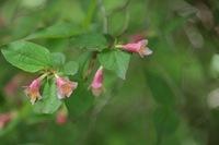 先日那須高原で見つけた花です。 小さな花です。 この花の名前を教えて下さい。 宜しくお願いします。