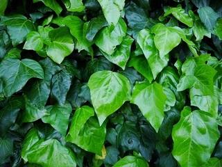 グリーンカーテン,植物,カナリーキヅタ,オカメヅタ,名前,和名