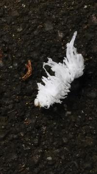 自然公園で面白い芋虫を見ました。 このふわふわは地毛ですか? 毒は有りますか? 何の幼虫ですか?