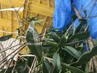 もっこくや金木犀の木の葉っぱにたくさん虫がついています。 この幼虫何という虫かわかるかたいらっしゃいますか?