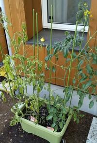 プランター栽培 ミニトマトの変色について  今年5月に苗を買ってミニトマトを栽培していましたが、葉に元気がないと思っていたら見る間に一株写真左のように変色してしまいました。  水やり は朝夕二回、プラ...