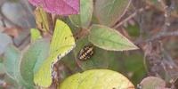 虫の名前 わかる方教えてください。 マンションの庭で、木の葉っぱの上ににこんな虫?がいました。近くにはこれの脱け殻?白く乾燥したものもたくさんついてました。 カイガラムシの幼虫かな とも思いましたが...