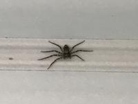 このクモの種類なんですか? 普通のクモより横に広いような気がします。 大きさは1〜2cmくらいです。 毒蜘蛛だったりしないですよね?   #昆虫