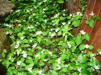 ドクダミの収穫時期は? . *ドクダミ草が『ある程度、大きく成長した』とき  *ドクダミ草が『花が開花した』とき  ドクダミを収穫して、「ドクダミ茶」を作る予定で す。  去年は、ドクダミ草が開花した後(1週間後で花が 散った状態)に収穫をしてドクダミ茶にしました。 試作・テスト的な収穫と製造です。  ネットで検索をしましても明確な収穫時期がわかり ません。