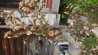 スモークツリーを昨年鉢植えし、順調に育っていたのですが、最近ご覧のとおり枯れてしまいました。枯れた枝を取り除き地植えに移植しようと思ってますが、秋まで待った方がいいでしょうか?病気 の可能性もあるのですぐにでも移植した方がいいでしょうか?ご教授よろしくお願いします。
