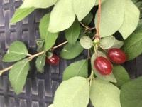 長野県 6月上旬に 赤い実があります。葉は、薄い毛が生えています グミより小さく、透き通っています、植物の名前をご存知のかたいらしたら、教えていただきたいです 宜しくお願いします