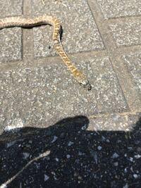 蛇の種類  北関東の道端で見つけたのですが、これは何蛇でしょうか?  アオダイショウの幼体ですかね?  幼体だとこのようにいろいろな模様になる感じなのでしょうか。