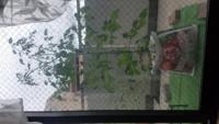 「純あま」のミニトマトはだいたい何メートル位まで育ちますか? できれば伸ばせるだけ伸ばしたいのですが、問題点がいくつかあります。  1つ目は写真のように地植えではないのです、なので2、3メートルのとても...