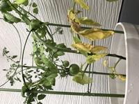 キノコバエの発生に困っています。 どなたかお知恵をお貸し下さい(T-T)  現在戸建て住まいで、 2階の洗濯物を干しているベランダで プチトマトとお花を2種類、プランター計3つで育てていま す。  ところが...