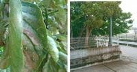 木の葉にたくさんの羽虫が付き、路面が茶色に染まってしまい困っています。 木の種類も虫の種類もわからないのですが、 毎年6月ごろ虫が付き木の下が茶色になります、解決方法はないでしょうか