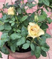バラの花びらの先がシミのように茶色くなるのですが何かの病気でしょうか? 蕾の時点でなっています 病気の場合、お勧めの薬を教えて下さい。