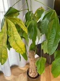 観葉植物初心者です。 パキラが元気ありません。 どうしたら良いでしょう。教えてください。