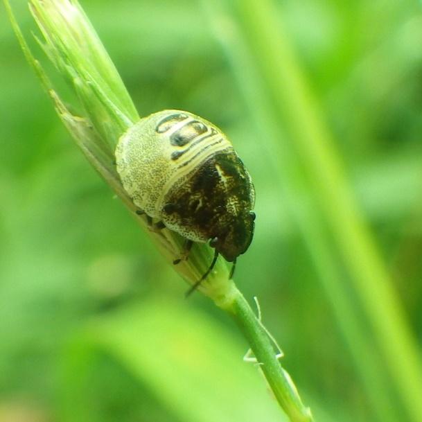 2020.6.12 愛知県春日井市築水 どのカメムシの幼虫でしょうか。