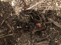 トイレットペーパーの芯の人工蛹室でカブトムシの雄を育てていました。羽化直前でしたが、勝手に出ていたので、芯を取り除きました。1日たったら無事羽化できたのですが、ひっくり返って手足を よく動かしてバタ...