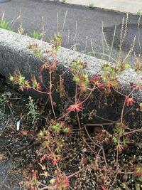 道端に生えていたこの植物の名前がわかる方いらっしゃいますか? どなたか教えて頂きたいです。