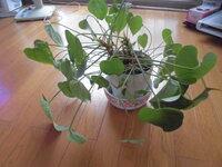 アンスリウムの育て方がよくわかりません。当方、観葉植物の初心者なんですが内のアンスリウムは、完全に葉が垂れ下がってしまっております。何がいけないんでしょうか?宜しくお願いします。