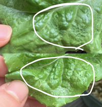 サンチュをベランダで育てているのですが、葉っぱの一部にプツプツができていたり変色?している部分があるのですがこれは病気か何かなのでしょうか?全部捨てた方が良いですか?