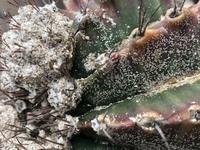 サボテンに付いた粉のようなものはカイガラムシでしょうか? 放っておいたら、枯れたりしますか?