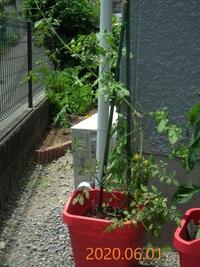 プランター栽培のミニトマトです。 思っていた以上に成長が早くて、 支柱の長さが追い付かなくなってしまいました。  後から長い支柱を継ぎ足せば間に合うでしょうか??