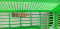ナミアゲハの蛹が羽化しません。  青虫3匹を保護して蛹になりました。 そのうち2匹は蛹になって9日目で無事羽化して飛び立ちましたが、一番早く蛹になった1匹だけ2週間経ちますが羽化しま せん。 3匹ともあまり陽の当たらない部屋に置いていたので環境は同じです。 今朝、綿棒で前面をそっと触ったところ、猫の耳のような頭(?)の部分がピクピクッと動いたので生きてるとは思うのですが。 この個...