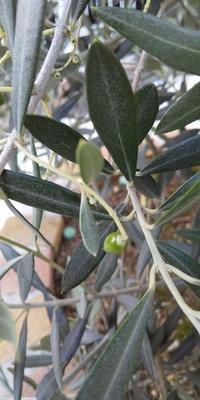 オリーブの実は、木が若いから落ちてしまうんですか?