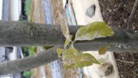 樫の木で生垣にしていますが、うどん粉病になり数回殺菌剤を打ちましたが、治りません! 治らないので、枝を、全て切り落とし葉っぱは直ぐに廃棄しました。葉っぱが出てきたので安心してましたが、よく見るとまたうどん粉病の葉が有ります。 どうしたら、治りますか? 殺菌剤は、ダコニール1000を散布しました。