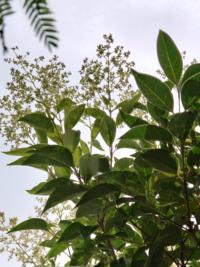 樹木の名前がわかるかた教えてください。自分で植えたおぼえがなくてどうしようかと考えてます。 写真は逆光で下から見上げたもので判りにくくてすみません。高さは今2メートルほどになりました。気がつけば先端...