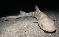 川(河口域)でうなぎ釣りをしていたら このサメ?が釣れました。  何サメか分かる方いますか? もしくはサメではない別の生き物ですか?
