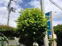 庭にあるこの木の名前を教えて下さい。  何年か観察していますが、花は咲いていないです。 葉っぱはかなり明るめの黄緑色です。