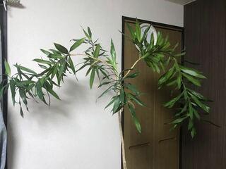 手掛かり,観葉植物,うろ覚え,国名,ドラセナ・レフレクサ,名前,ソングオブジャマイカ