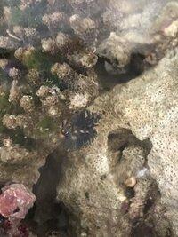 ライブロックの穴に住む生物について教えてください、 先日ライブロックを購入しましてキュアリング中なのですが 当方、海生生物の知識がまだ乏しいのでこの生き物についてご教授頂きたいです。 画像の黒くてフ...
