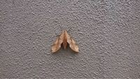 この蛾の名前を教えてください。 モモスズメ?