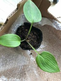 スイカの苗の種類 頂いたスイカの苗なんですが、大玉小玉など葉っぱの形で種類はわかりますか? 大きいプランターでそだれられるなら育ててみたいです