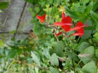 植物に詳しい方お願いいたします。 こちらの赤い花は、 ハーブのチェリーセージでしょうか?  いまも咲いてきたのですが、確か1月の寒い季節にも咲いていたように思います。  あまり香りは感じなかったように思いますがどうでしょう。  また、セージでもセージでなくても、こちらの植物は成長すると大きくなりますか?