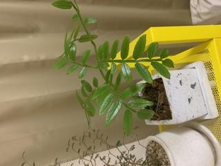 観葉植物,名前,リュウビンタイ,シダ植物,耐陰性ありインドア向き,センタープランツ,耐寒性