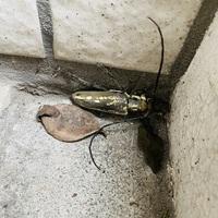 今朝、ベランダにこの虫がいたのですが… カミキリムシの仲間なのでしょうか?? 外は雨が降り始めたため追い出すのは可哀想なのですが…