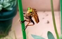 このアブのような昆虫は何ですか?