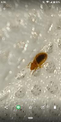 虫博士の皆様、この虫はごきぶりの幼虫でしょうか?他の虫(ダニなど)でしょうか?体長は2mm位でした。 教えて下さい。よろしくお願いいたします。