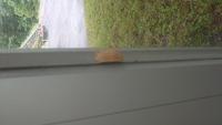 蛾?についてです。 窓のところに茶色のモフモフした蛾?が止まっていたのですが、しばらくするとマユみたいになりました。自分でも調べてみたのですが、よく分からなかったのでどなたかよろし くお願いします。