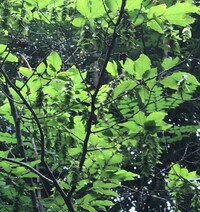 木の葉(枝)からミノムシのような捻じれた葉様のものがたくさんぶら下がっている木がありました。これは珍しい植物なのでしょうか。 写真が鮮明に撮れてませんがミノムシのような葉の塊りがアチコチにぶら下がっ...