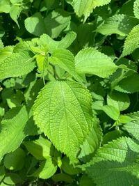 詳しい方教えて下さい。 近所の草むらでこの葉っぱをちぎっているおばさん達を見ました…食べれるのでしょうか?またこの植物の名前は?謎は深まるばかりです…
