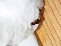 この蟻の種類教えてください!  たった今、ズボンの上に這っていたんですけど大きいし潰してもなかなか死ななくて怖いです…。 この蟻は刺されたらヤバいやつですか?