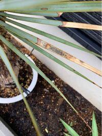 この葉の症状は黒星病あるいは黒斑病でしょうか? 横から見ると黒い点は隆起しています。  まだ発根していないユッカロストラータを鉢植えで屋外管理していたところ最近葉の先から枯れてきていたのですが、今日見ると黒い点が出ている葉がいくつかありました。 葉の枯れは病気によるものでしょうか?  もし病気であれば対処方法をお伺いしたいです。 手持ちの薬剤としてはベンレートがあります。  よろしくお願いします。