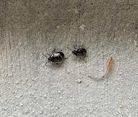 この虫はカメムシの赤ちゃん、子どもでしょうか? 家の周りは林なのですが、今月に入ってこの虫が家の周りに大量発生していて困っています。
