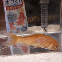 今朝水槽を見たら、金魚がこんなことになっていました。 全然元気がなくて動きません。 近隣にペットショップもなく、どうしていいかわかりません。 対処法を教えてください。